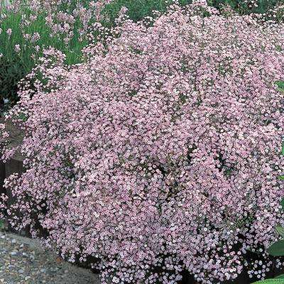 Pink Baby's Breath (Gypsophilia) Live Bareroot Perennial Plant Pink Flowers (2-Pack)