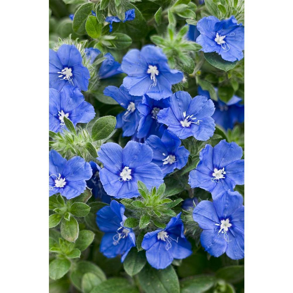 Blue My Mind Dwarf Morning Glory (Evolvulus) Live Plant, Blue Flowers, 4.25 in. Grande