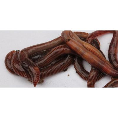 1 lb. of Worms for Use with Worm Farm