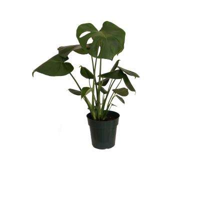 Philodendron Monstera Swiss Cheese Multi-Stem Plant in 6 in. Grower Pot