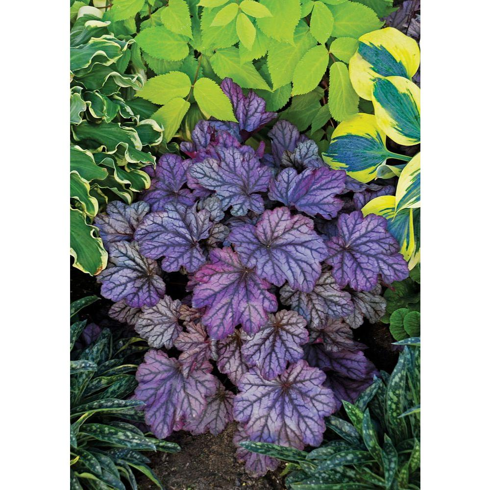 4.5 in. qt. Dolce Blackberry Ice Coral Bells (Heuchera) Live Plant,Purple-Black