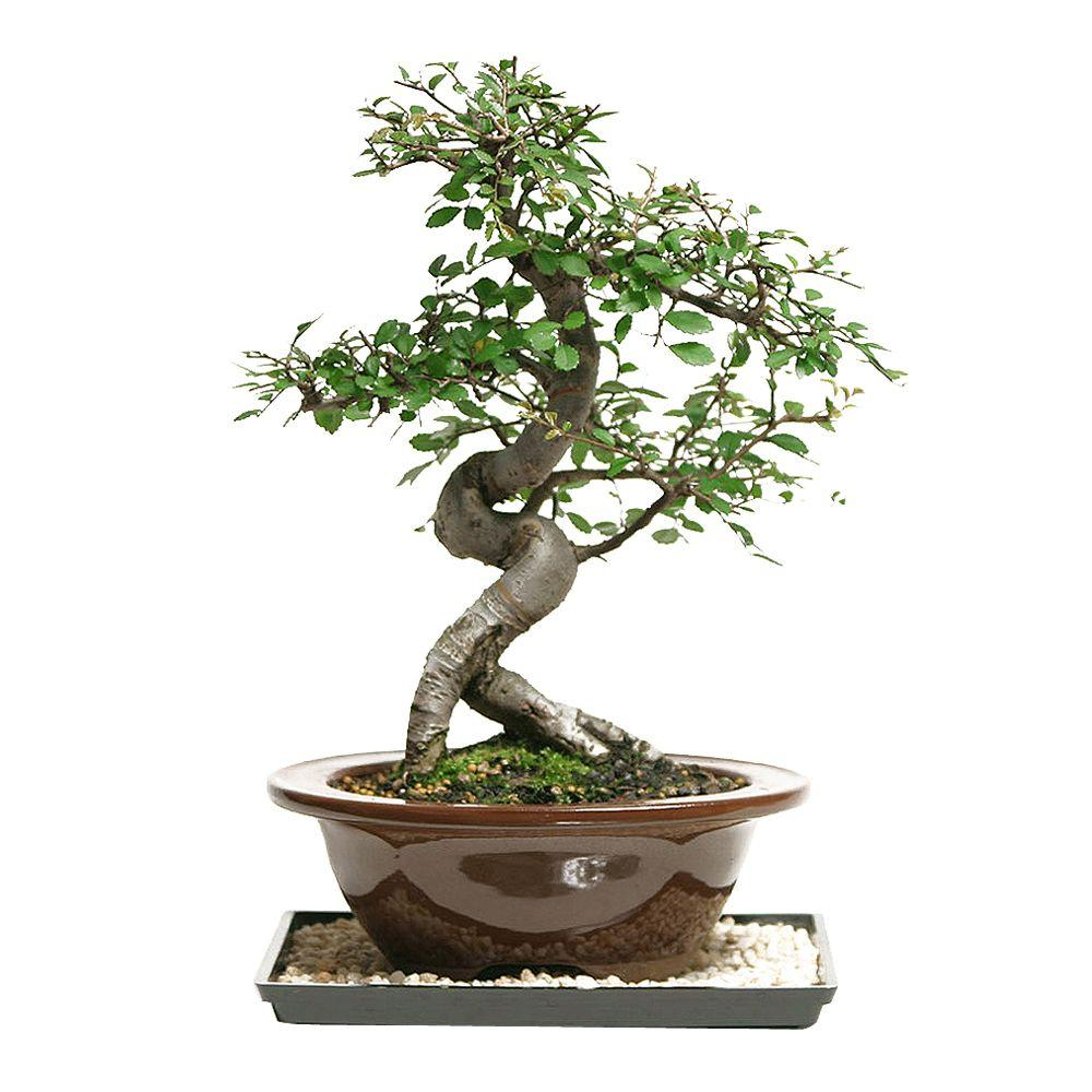 Wiring Your Bonsai Tree Trees Indoor Plants The Home Depot Brussels Outdoor Chinese Elm
