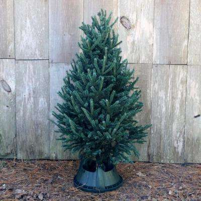 5 ft. Freshly Cut Black Hill Spruce Real Christmas Tree