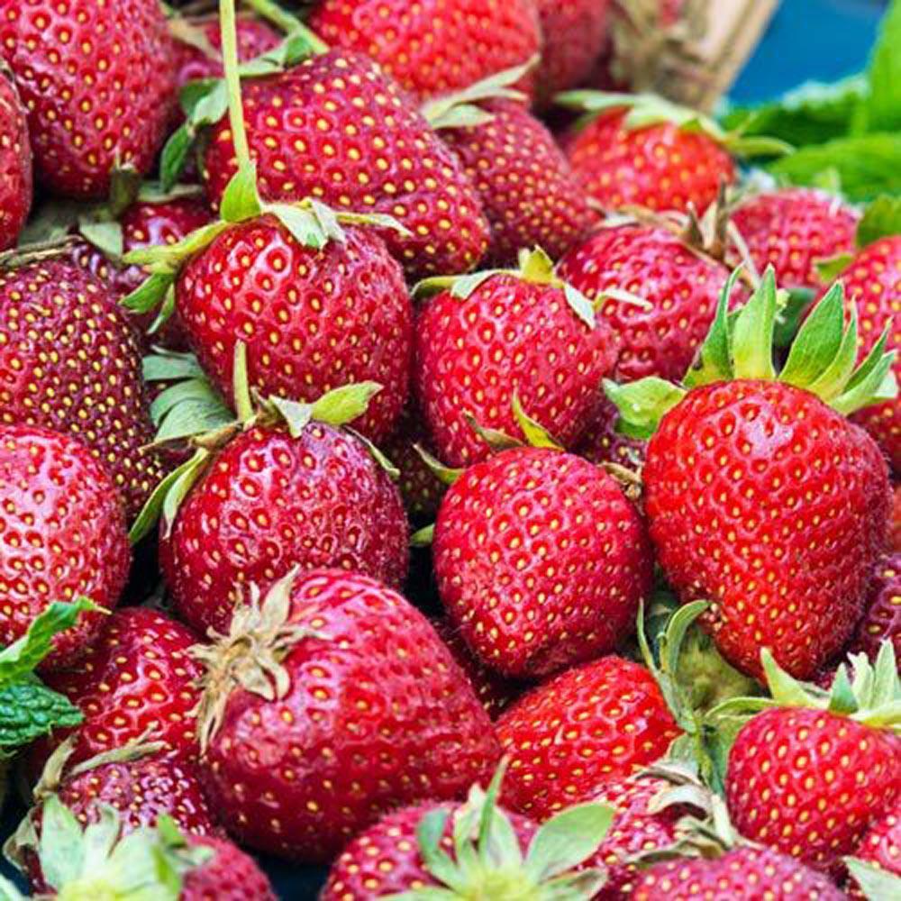 Honeoye Junebearing Strawberry Plants (25-Pack)