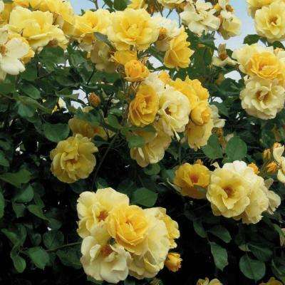 Sky's The Limit Climbing Yellow Rose Flowers Live Bareroot Plant (1-Pack)
