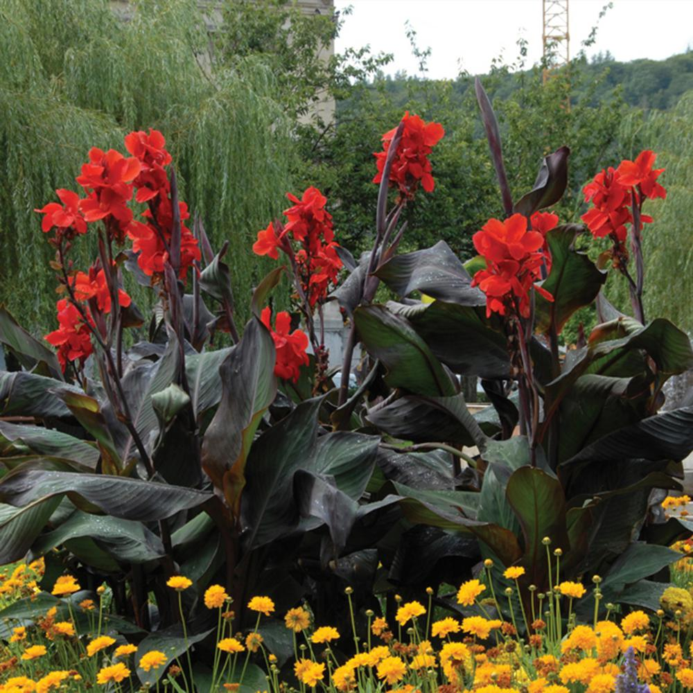 Cannas Giant Black Knight Bulbs (Set of 6)