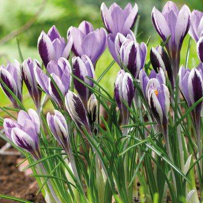Crocus garden plants flowers garden center the home depot crocus bulbs spring mightylinksfo