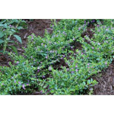 1 Qt. Purple Cuphea Plant in Grower Pot (4-Pack)