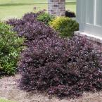 2 Gal. Purple Diamond Semi-Dwarf Loropetalum, Evergreen Shrub with Purple Foliage, Pink Ribbon Blooms