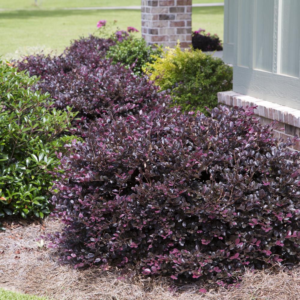 2 Gal. Purple Diamond Semi-Dwarf Loropetalum, Evergreen Shrub with Purple Foliage, Pink Ribbon Blooms