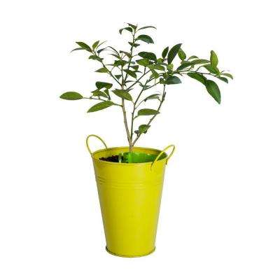 Lime Tree in Decorative Planter