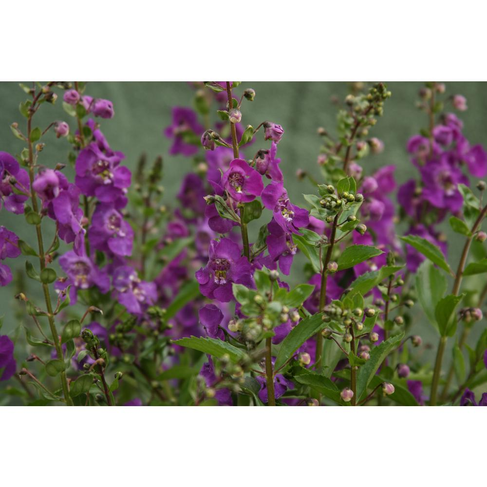 Proven Winners Angelface Blue Summer Snapdragon Angelonia Live