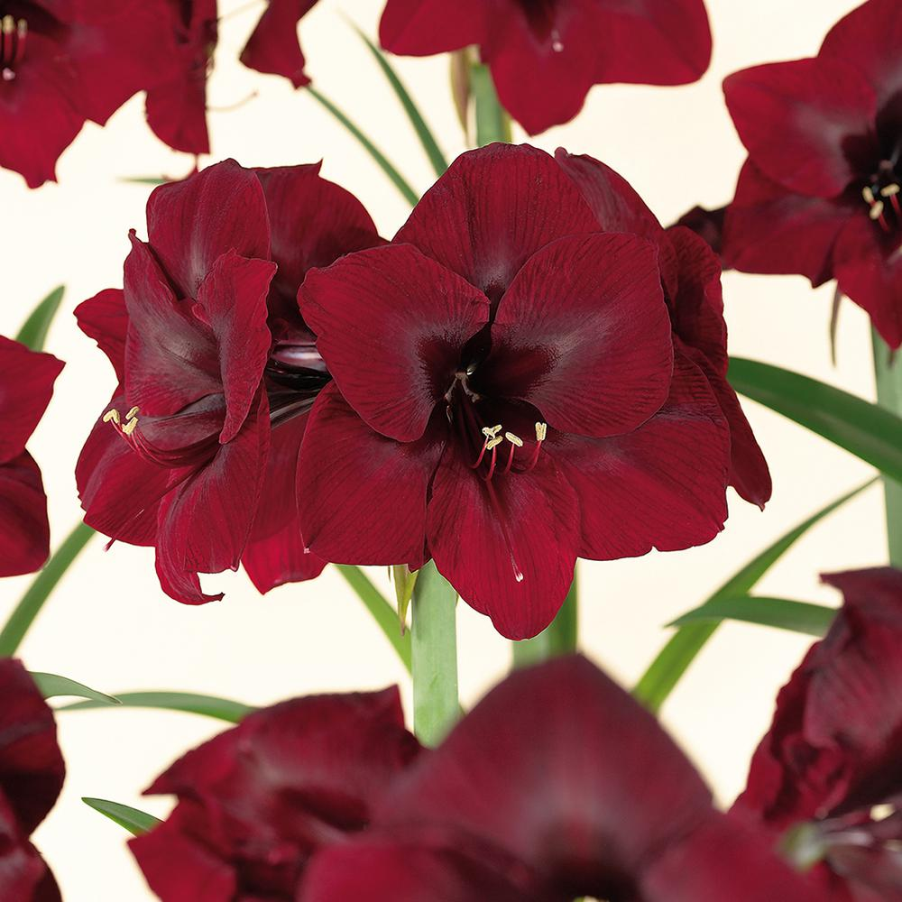 Crimson flower bulbs garden plants flowers the home depot amaryllis bulbs royal velvet set of 1 bulb izmirmasajfo