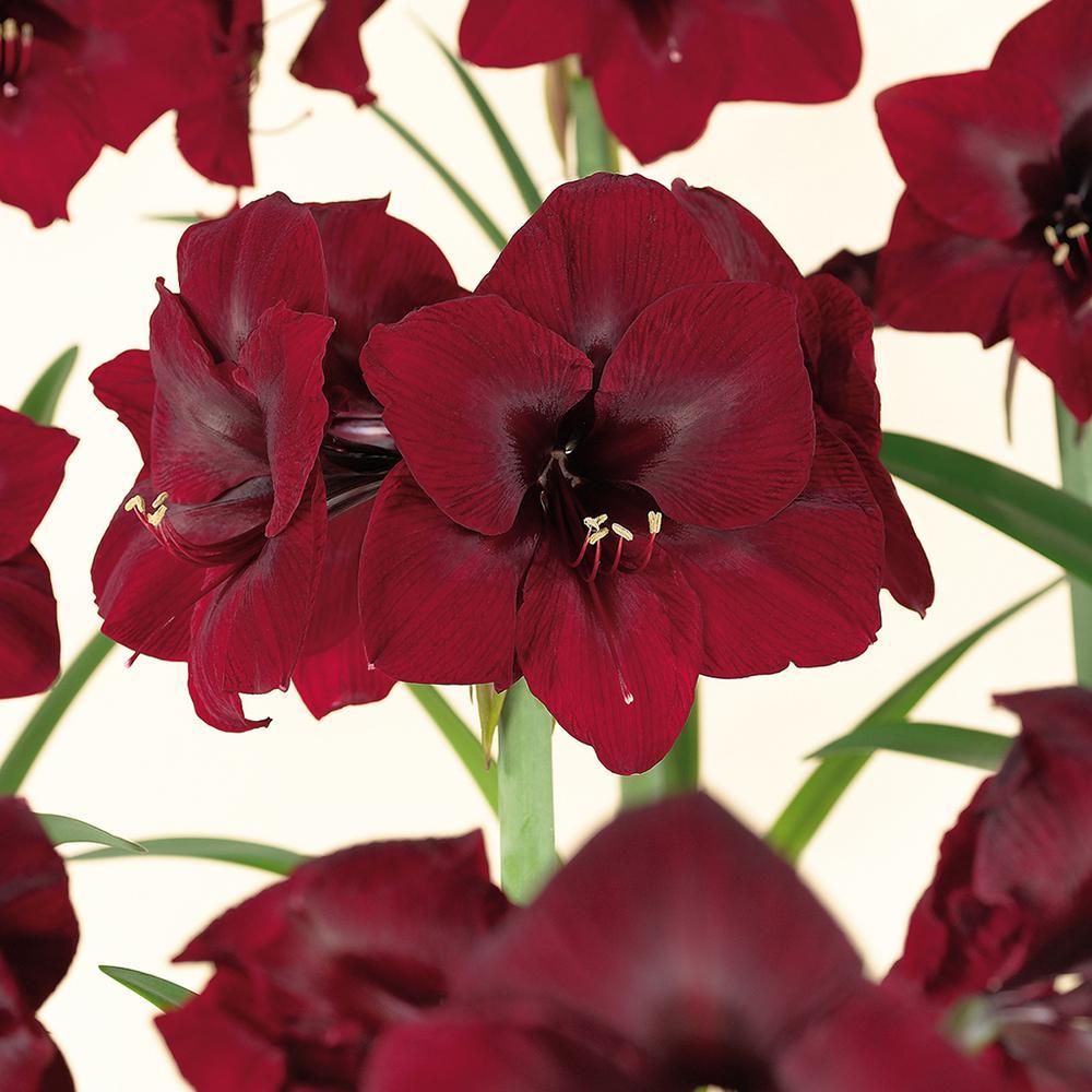 Amaryllis Bulbs Royal Velvet (Set of 1 Bulb)