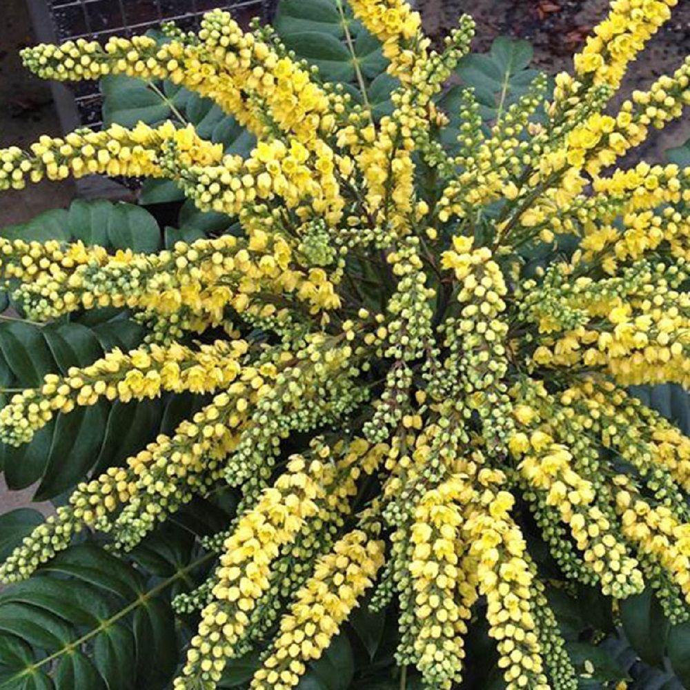 Marvel Mahonia Live Evergreen Shrub Bright Yellow Flowers