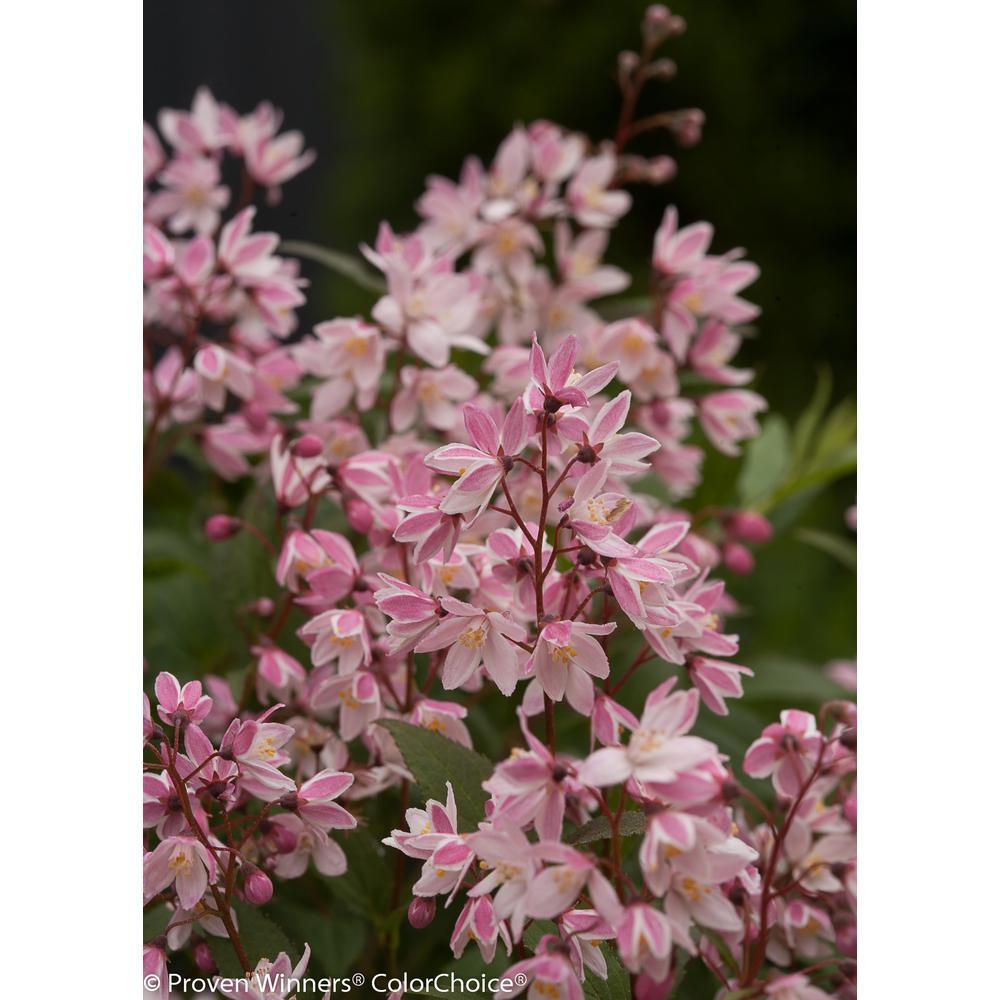 3 Gal. Yuki Cherry Blossom (Deutzia) Live Shrub, Light Pink Flowers