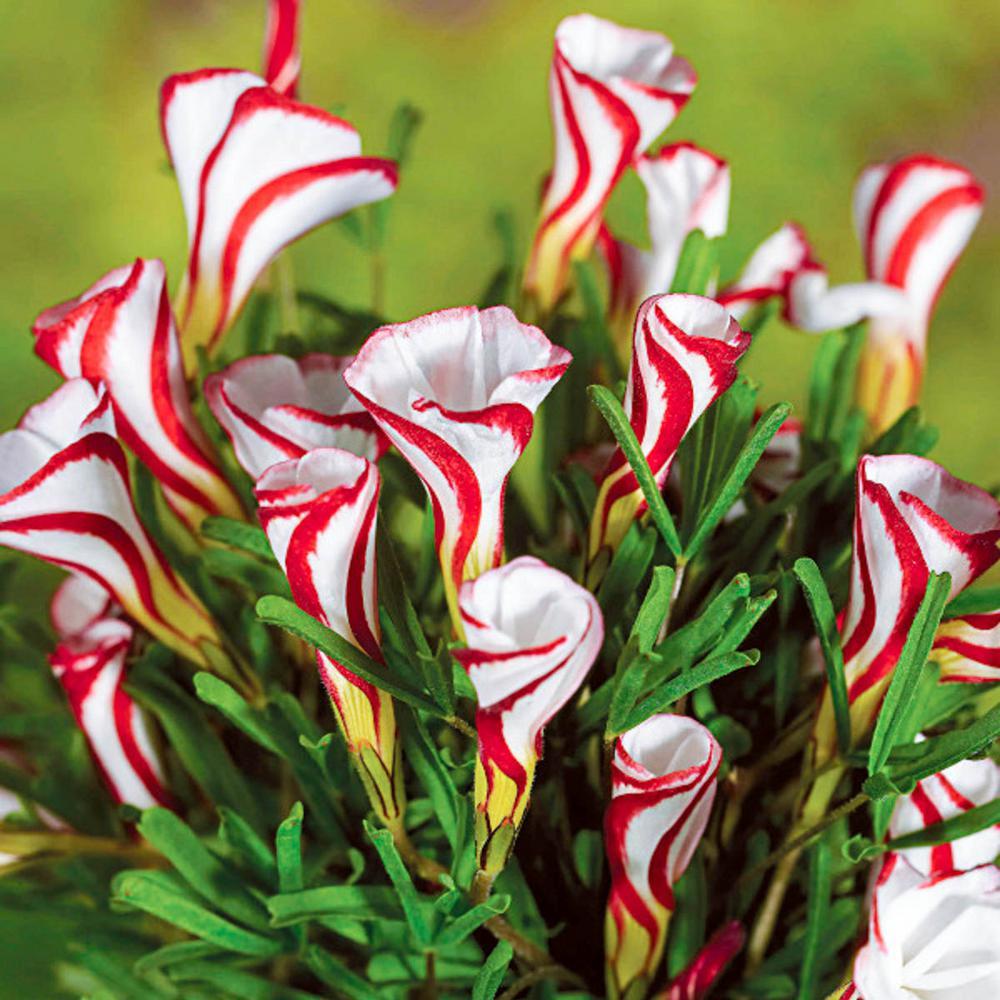 Candy Cane Sorrel Oxalis Bulbs (15-Pack)