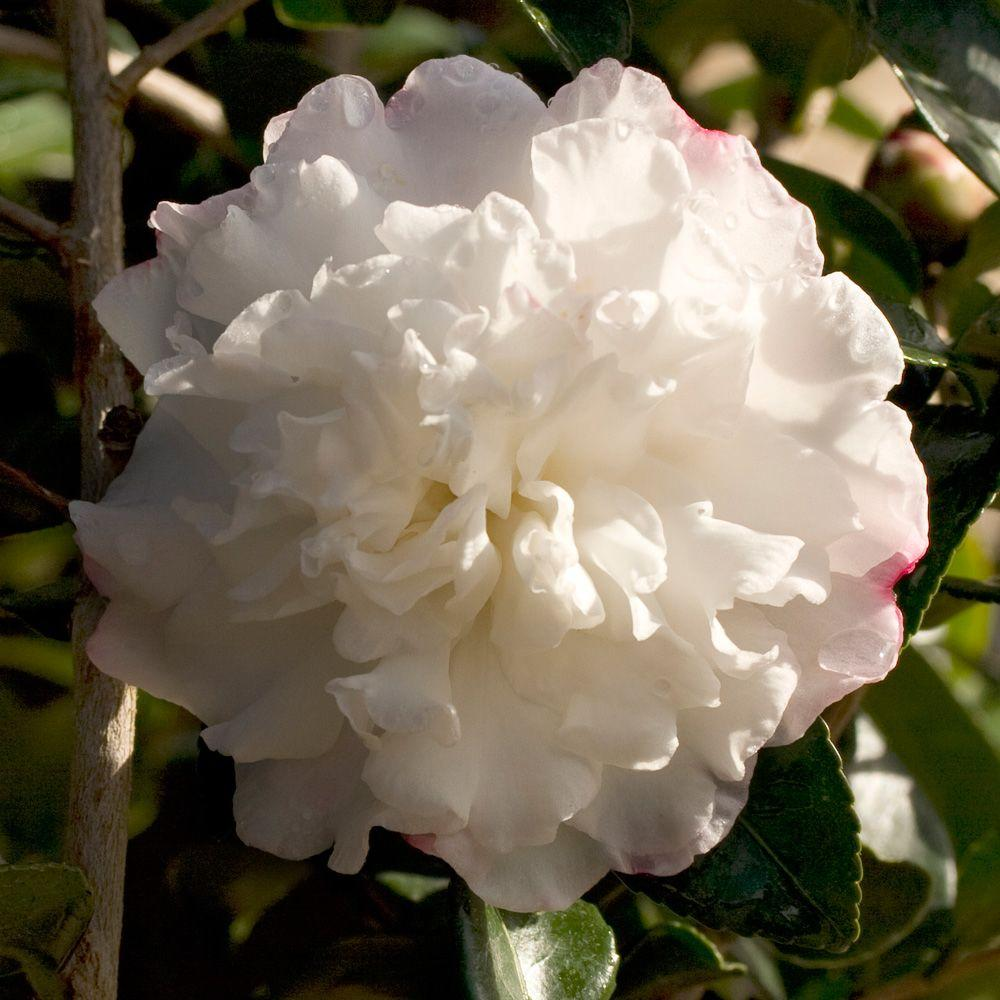Southern living plant collection 2 gal october magic snow camellia southern living plant collection 2 gal october magic snow camelliasasanqua evergreen izmirmasajfo
