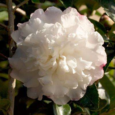 2 Gal. October Magic Snow Camellia(sasanqua) - Evergreen Shrub with White Blooms, Live Plant