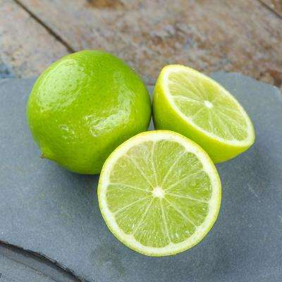 Lime Citrus Tree - Bearss (Persian) Lime- 1 Plant