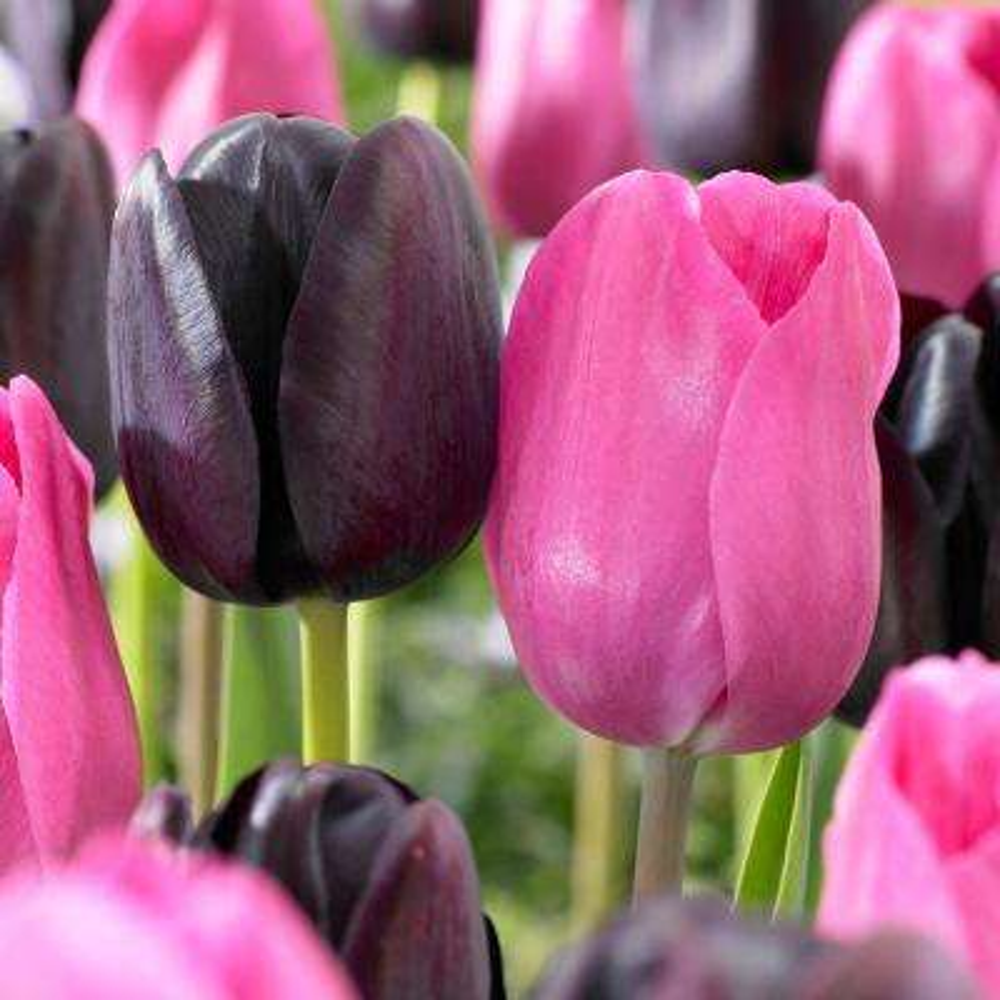 Tulips Bulbs Lip Stick Blend (Set of 15)