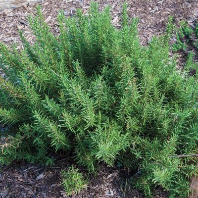 Rosemary Herb Plant,  2 in. Live Herb Plant Grown in a Pot (1-Pack)