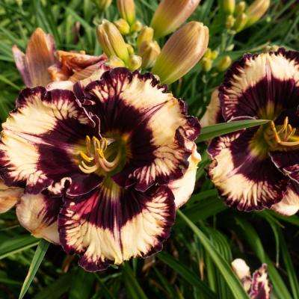 Red and Yellow Flowers Moussaka Daylily (Hemerocallis) Live Bareroot Perennial Plant (1-Pack)