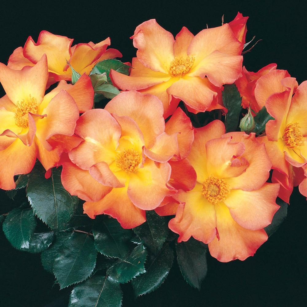 Playboy Floribunda Rose Live Bareroot Plant with Orange Color Flowers (1-Pack)