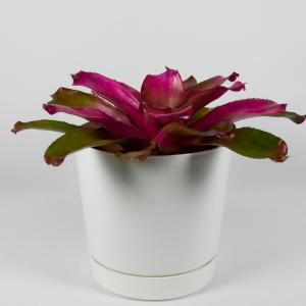 Shocking Pink Bromeliad (Neoregelia) Live Plant Inside Decorator White Contemporary 8 in. Pot