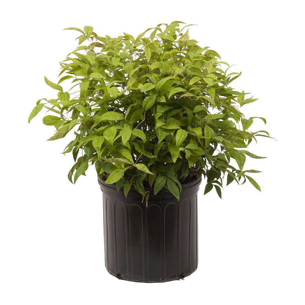 9.25 in. Pot - Firepower Nandina(Heavenly Bamboo), Live Evergreen Shrub, Bright
