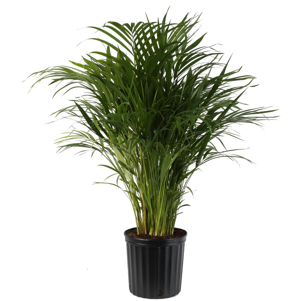 Costa Farms Areca Palm in 9.25 in. Grower Pot