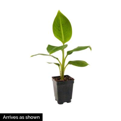 Banana Dwarf (Musa) Live Potted Tropical Plant Grown in 3 in. Pot Produces Yellow Fruit (1-Pack)