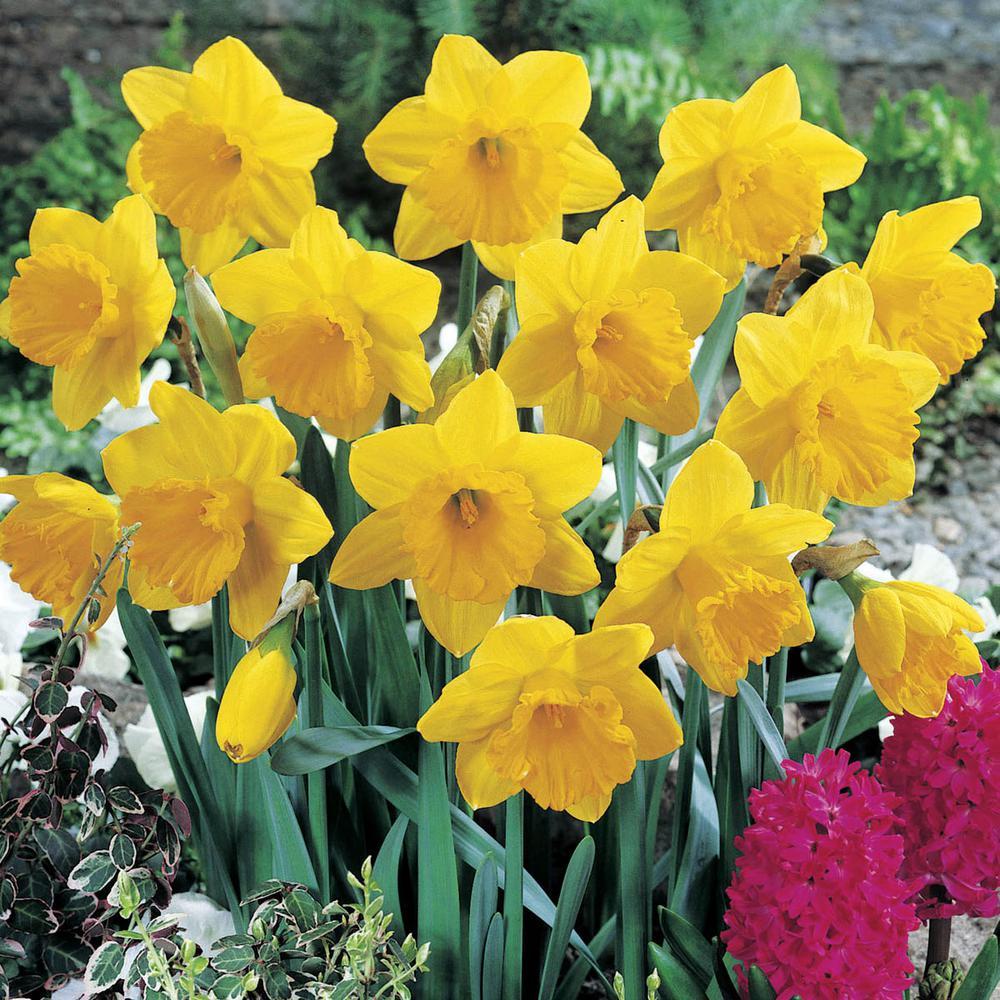 Dutch Master Trumpet Daffodil Bulbs 25-Pack