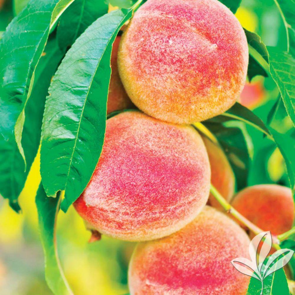 Goldprince Peach Tree