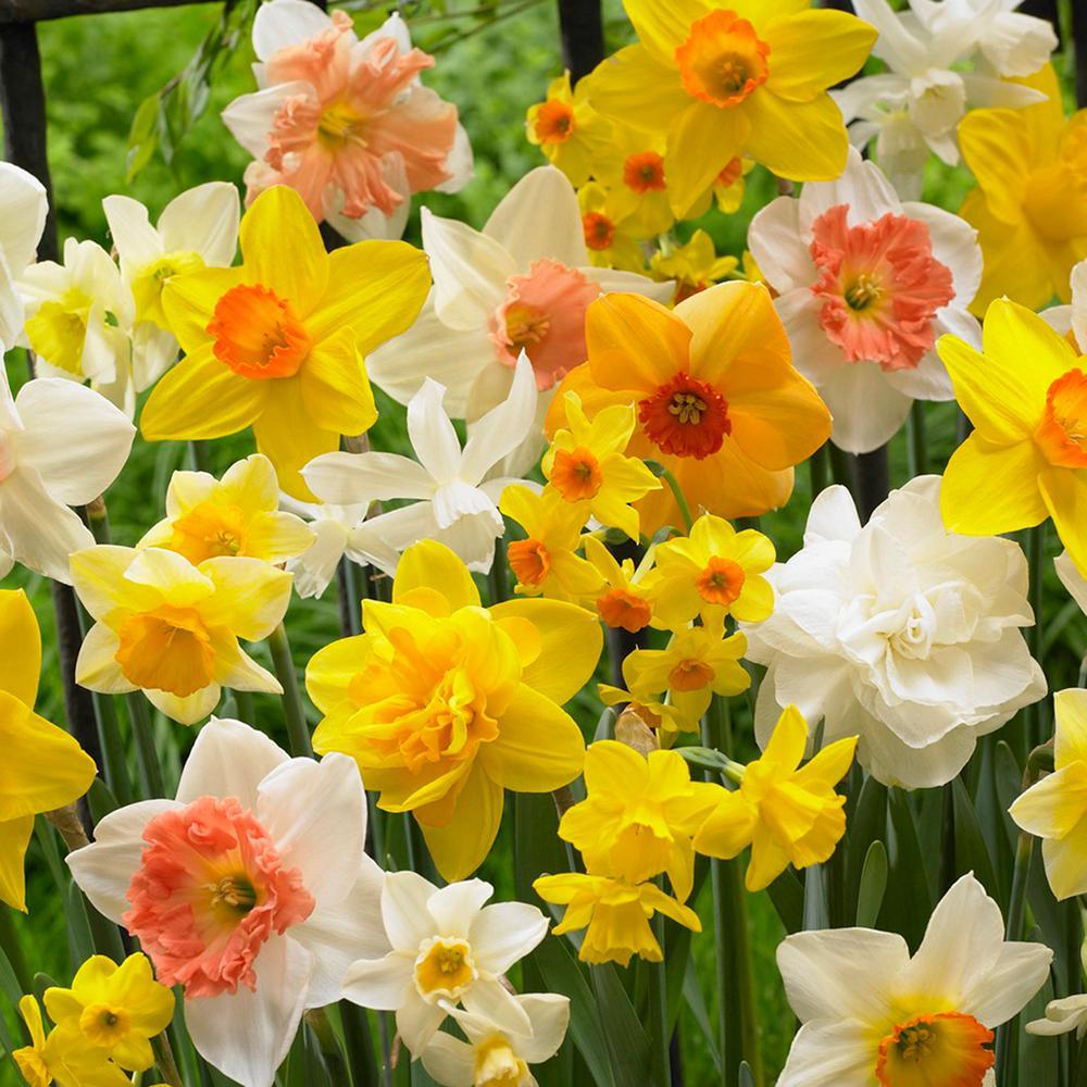 Daffodils Bulbs Kitchen Sink Mixture (Set of 25)