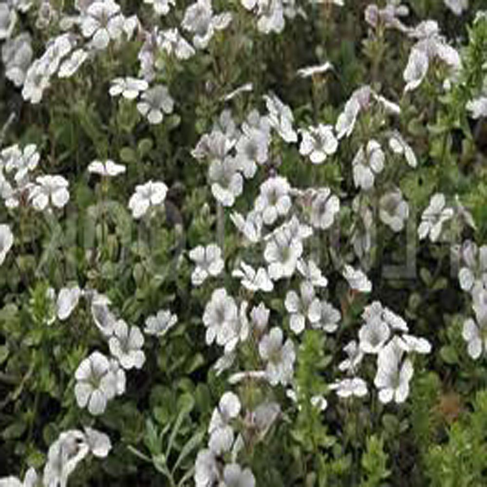 null 3.5 in. Alpine Baby's Breath Plant