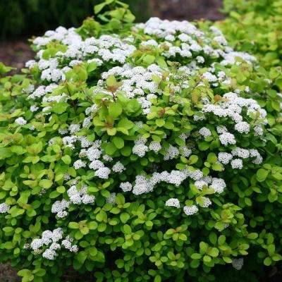 2.5 qt. Birchleaf Spirea (Spiraea), Live Deciduous Plant, White Flowers with Green Foliage (1-Pack)