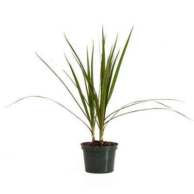 Dracaena Marginata, Dragon Tree in 6 in. Grower Pot