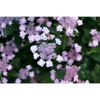 4.5 in. Qt. Tiny Tuff Stuff (Mountain Hydrangea) Live Shrub, Blue and Pink Flowers