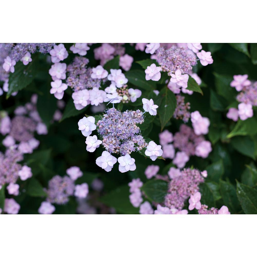 4.5 in. Qt. Tiny Tuff Stuff(Mountain Hydrangea)Live Shrub, Blue and Pink Flowers