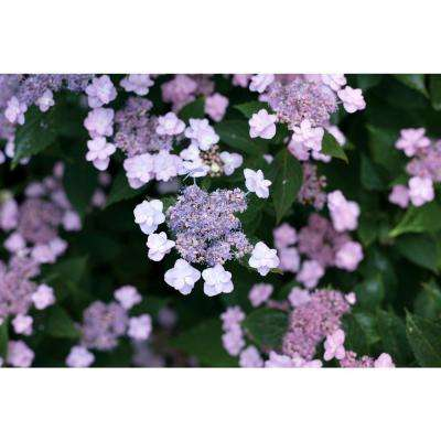 1 Gal. Tiny Tuff Stuff (Mountain Hydrangea) Live Shrub, Blue and Pink Flowers