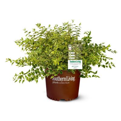2 Gal. Miss Lemon Abelia Plant with Bright Variegated Yellow Foliage