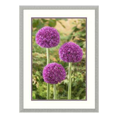 """Onion ambassador variety flowers"" by Visionspictures Framed Wall Art"