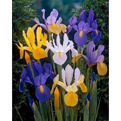 Dutch Iris Bareroot Mix (50-Pack)