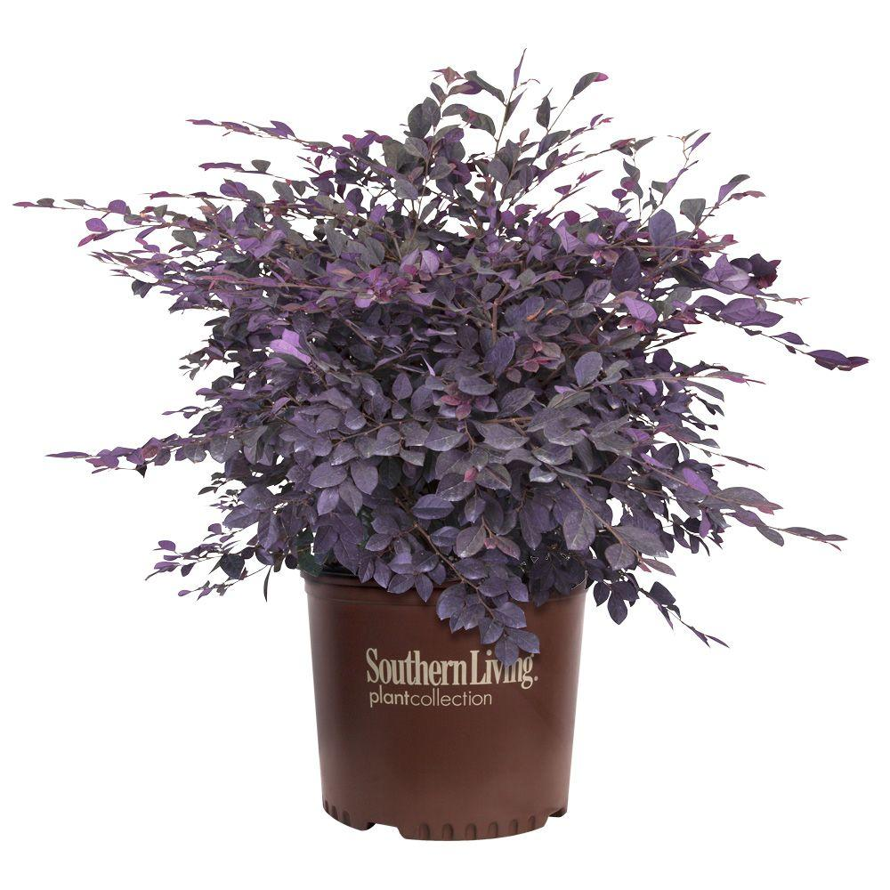 Southern Living Plant Collection 2 Gal Purple Diamond