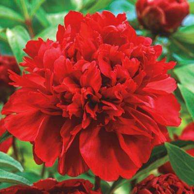 Karl Rosenfield Peony (Paeonia) Live Bareroot Plant Double Red Flowering Perennial (1-Pack)