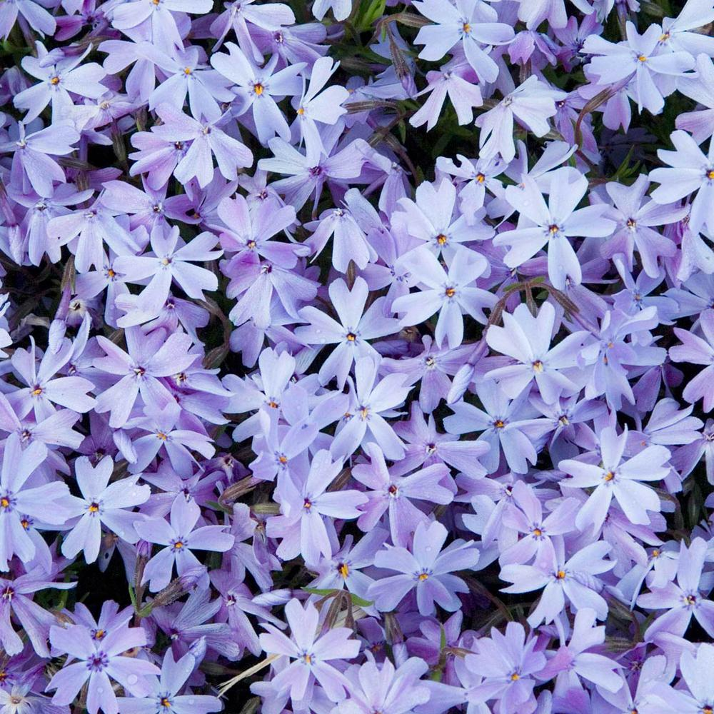 Spring Hill Nurseries Blue Carpet Creeping Phlox Live Bareroot Perennial Plant Flowers 1