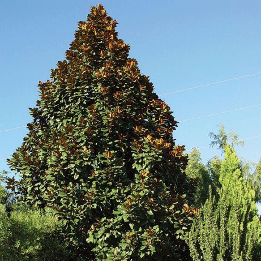 3 Gal. Teddy Bear Magnolia, Live Evergreen Tree, White Fragrant Blooms