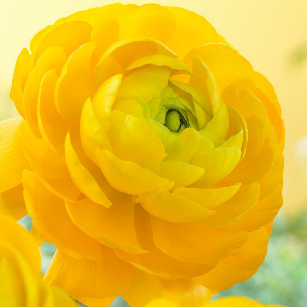 Butter Cups Bulbs Ranunculus Sunshine (Set of 25)