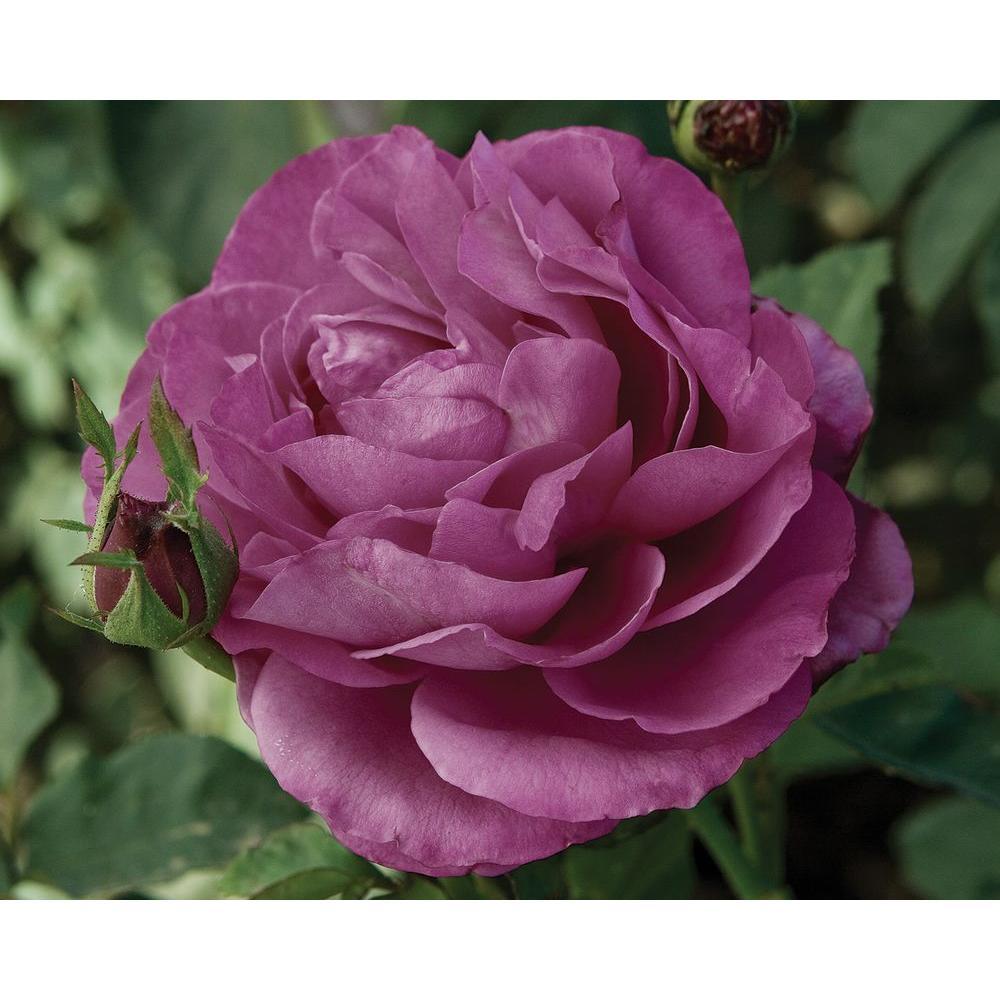 Mea Nursery All Time Favorites Rose Heirloom